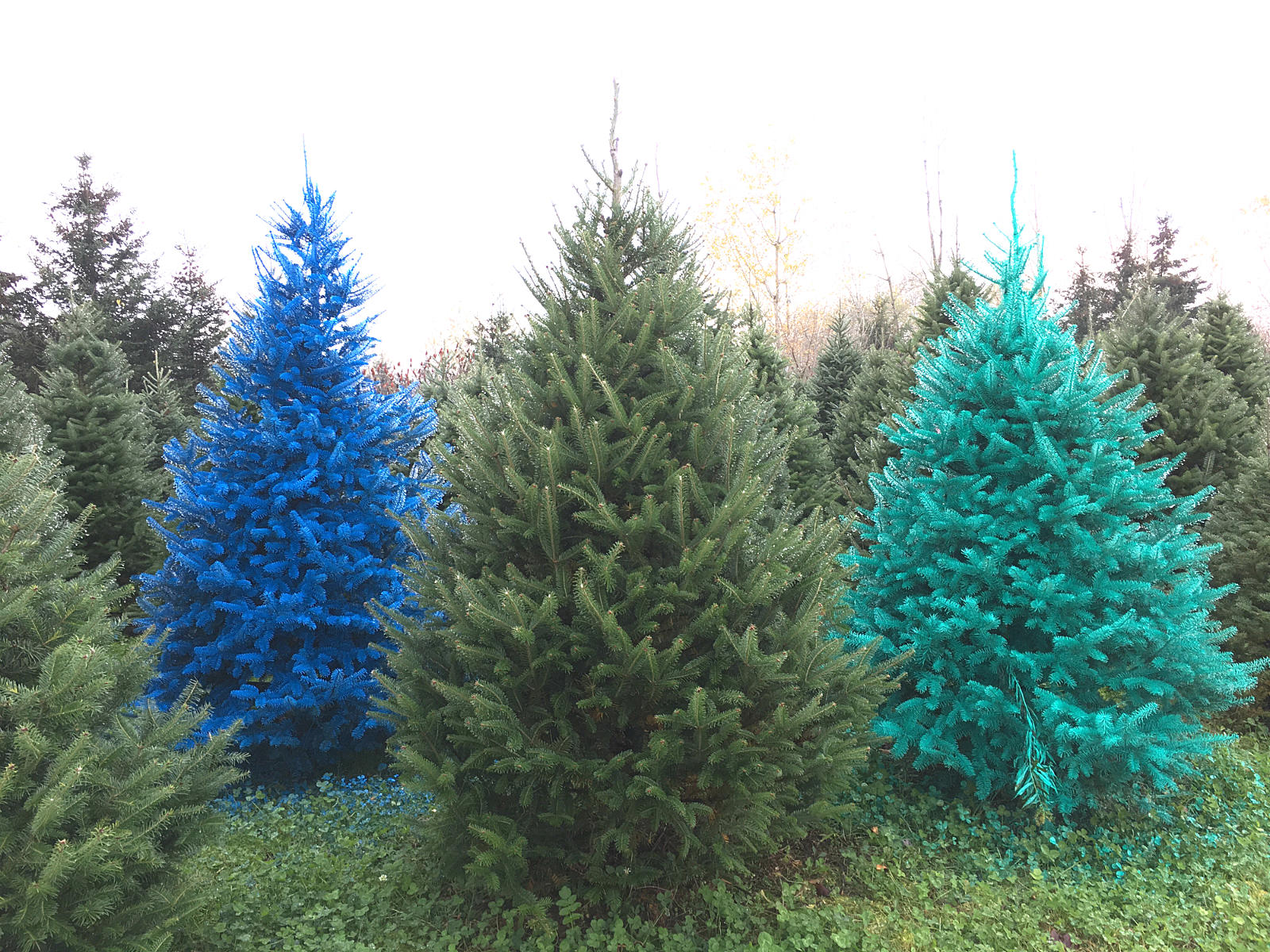 Christmas Tree Colors.Real Colored Christmas Trees Now In Cny