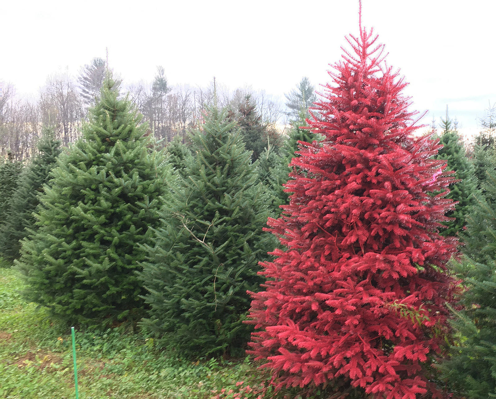 Red Christmas Tree.Real Colored Christmas Trees Now In Cny