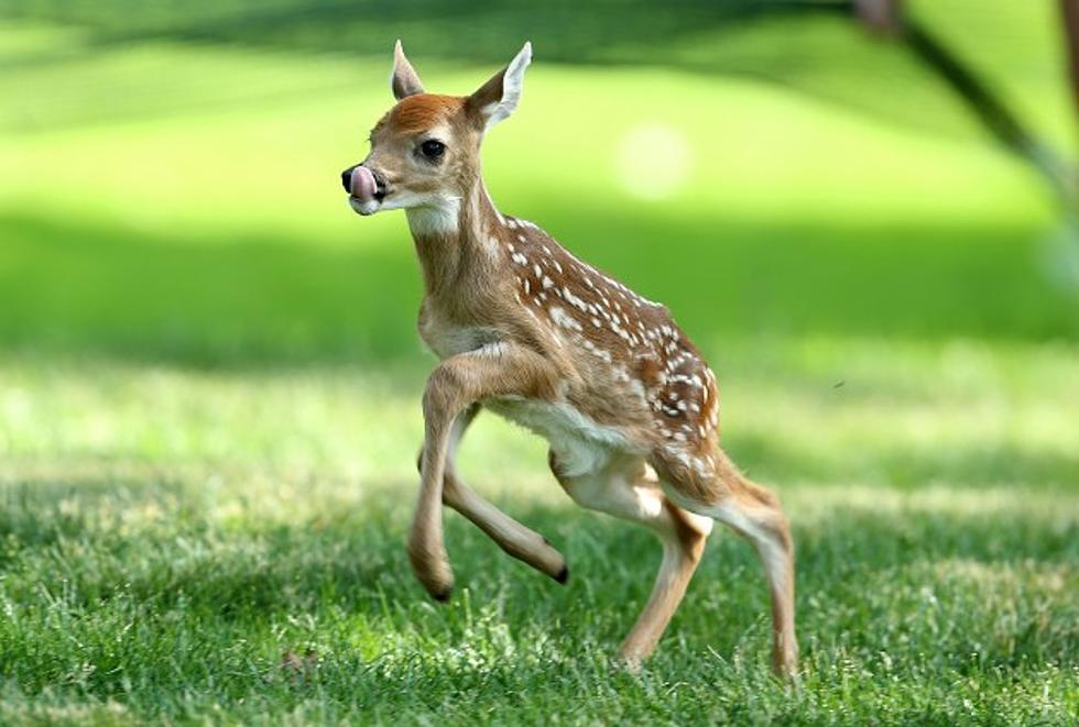 Premature Baby Deer
