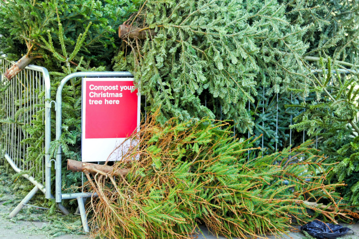 Expert: Best Christmas Tree Has Nice Scent, Springy Needles