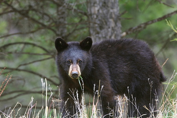 Beware: Aggressive Bears Approaching Campers in NY