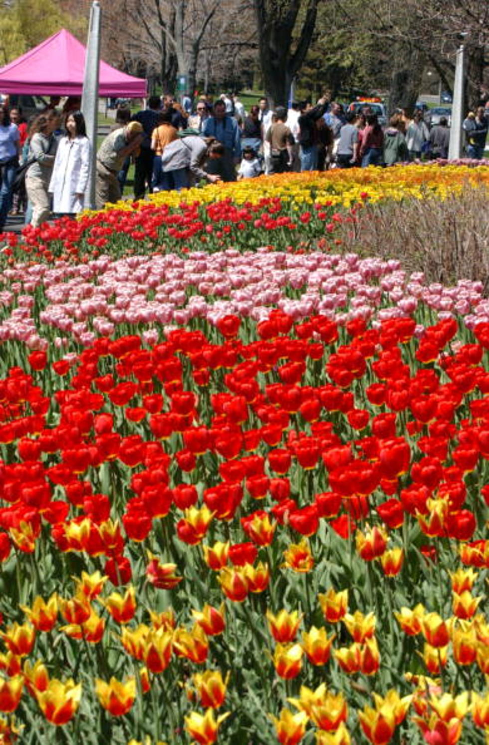 Albany Tulip Festival 2020.Be On The Lookout Albany Tulip Fest 2016