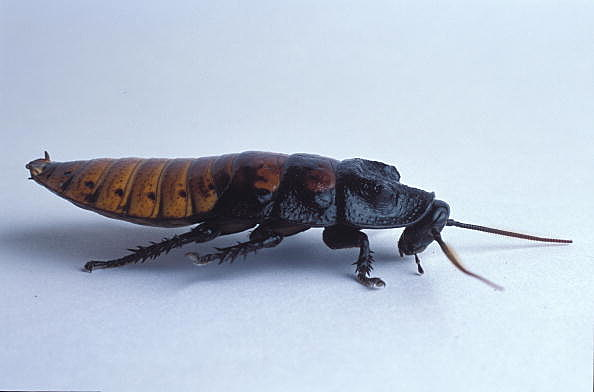 Anti-Valentine's Day Ideas: Adopt a Cockroach in Honor Of