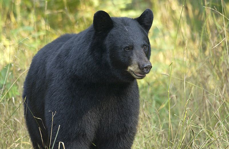 There Are 3 000 Black Bears In Michigan S Lower Peninsula