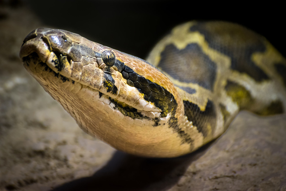 St. Louis Zoo Says Python Laid Seven Eggs Without Male Help