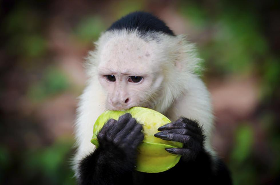 Watch Monkeys Attack An Ice Cream Truck [VIDEO]
