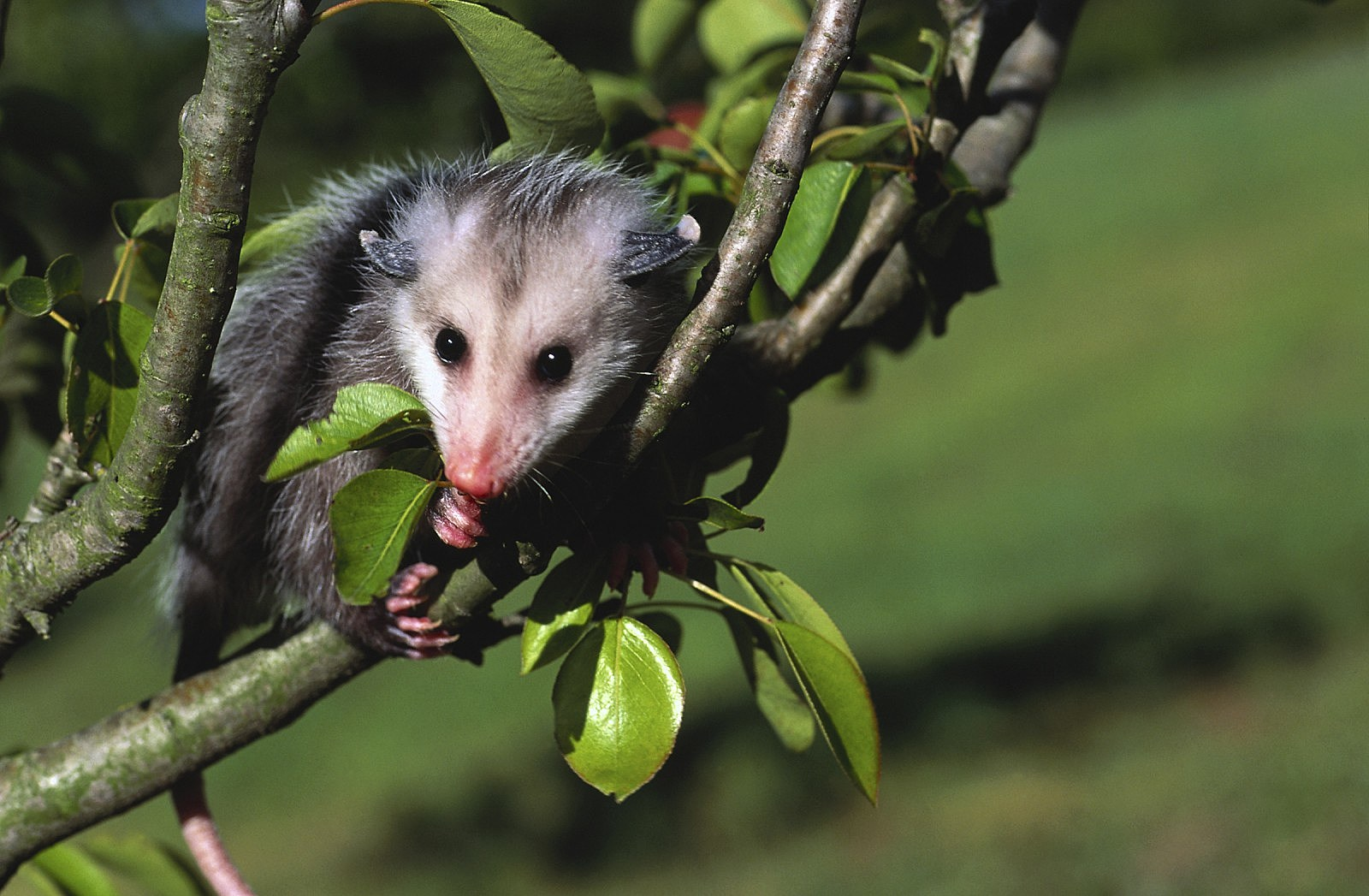 How To Get Rid Of A Possum In Your Garage there's a monster creature in my backyard. or maybe a possum