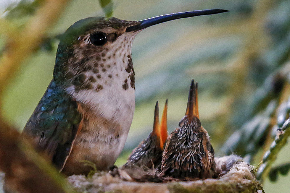 Pruning Your Trees Watch Out For Hummingbird Nests