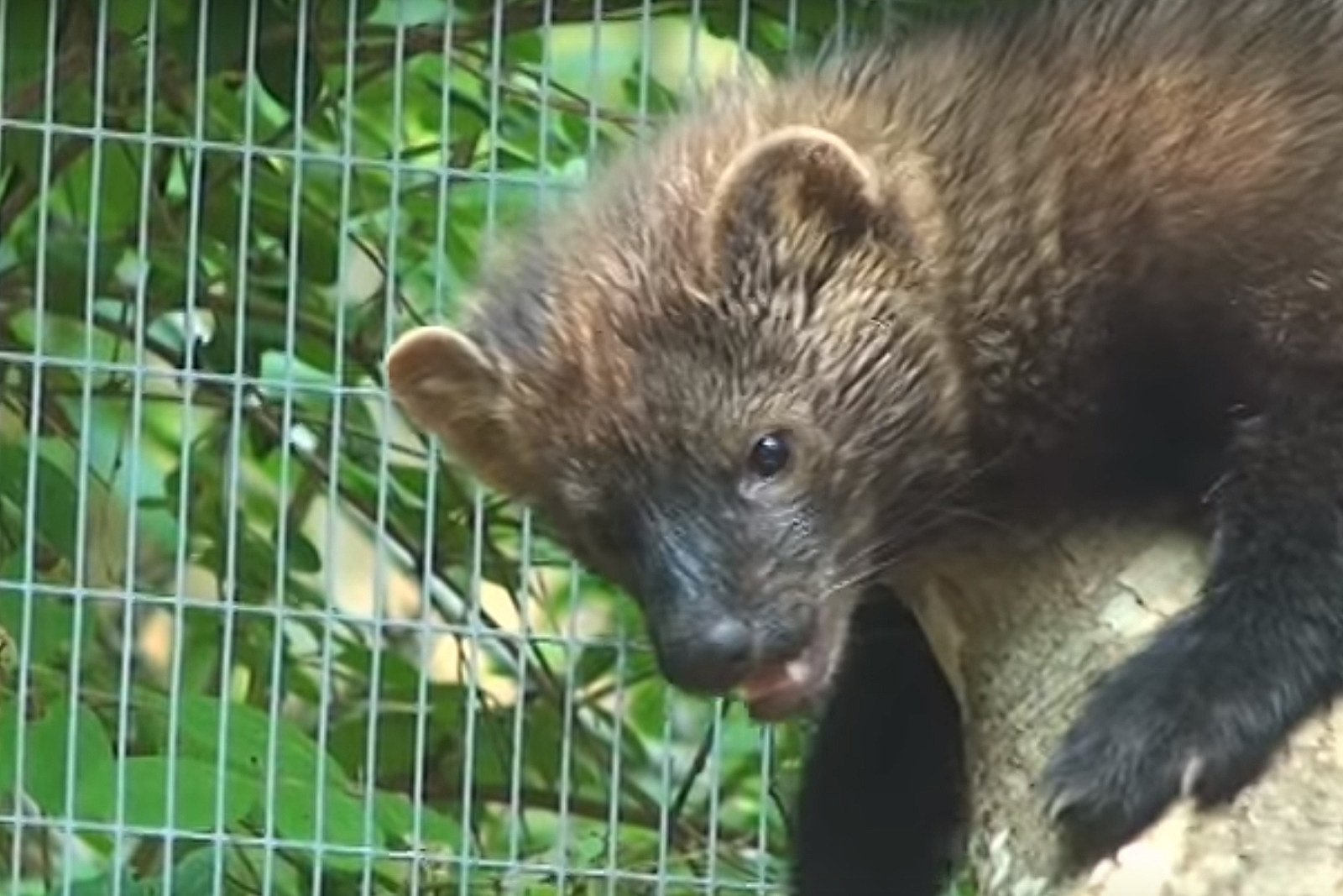 Look Out For Maine S Fiercest Pet Predator The Fisher Cat