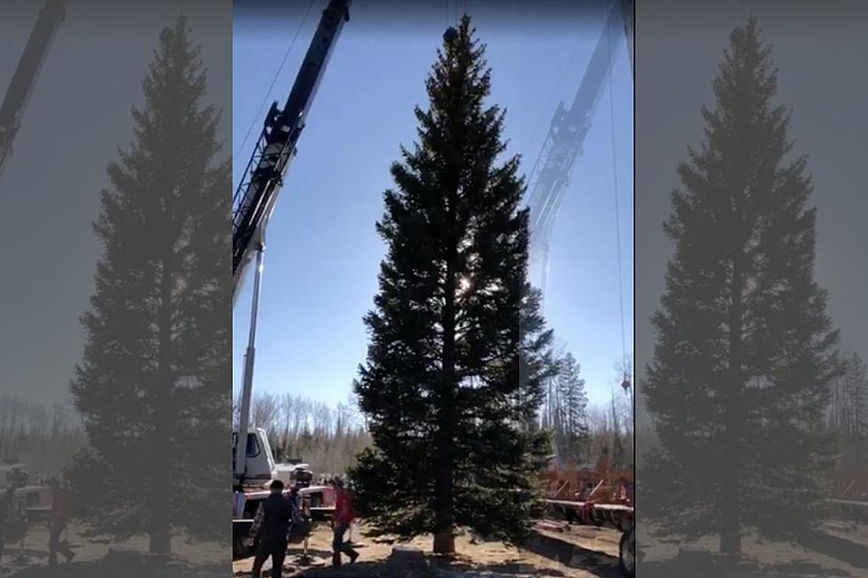 Colorado Christmas Tree Cutting 2020 Watch the US Capitol Christmas Tree Cutting in Colorado