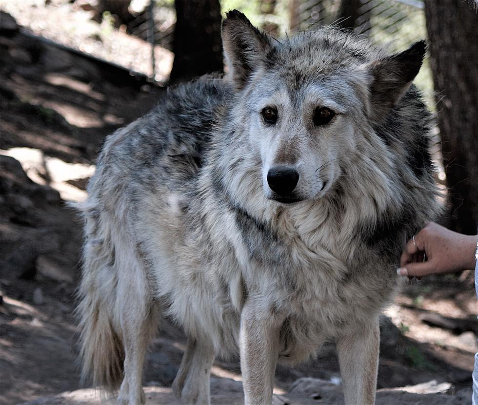 bilder von einem wolf  vorlagen zum ausmalen gratis