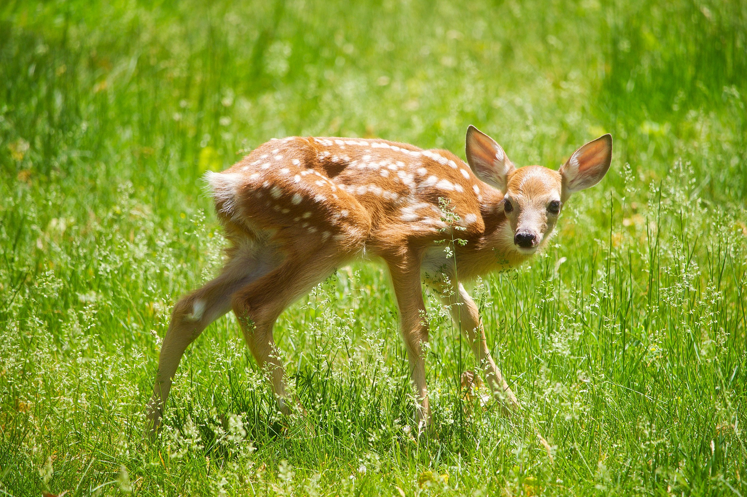 What To Do If You Find An Abandoned Baby Deer This Spring