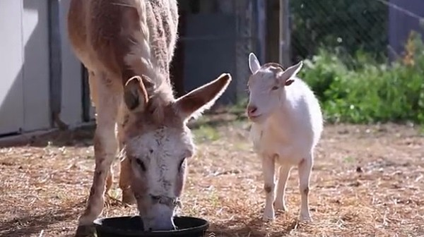 Sad Goat: Depressed Goat Finds Happiness With Burro [VIDEO]