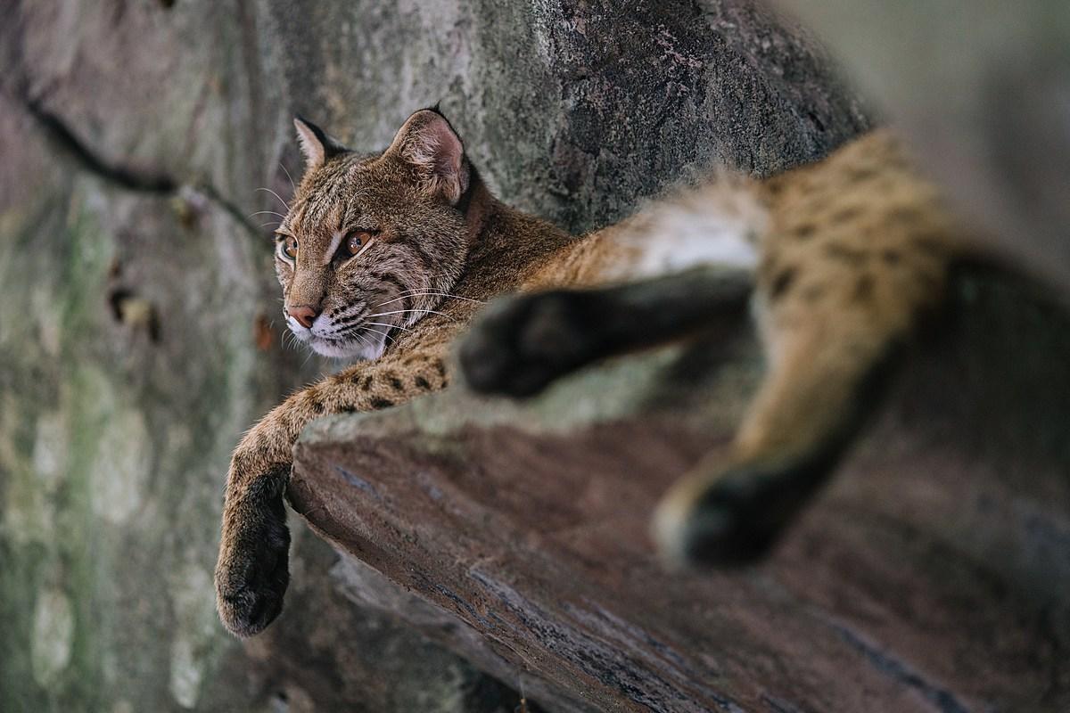 Wild Bobcat For Sale on Boise Craigslist
