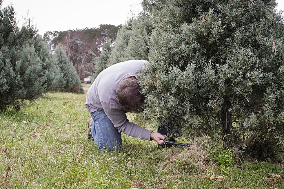 Christmas Tree Shortage.Is There Really A Christmas Tree Shortage This Year