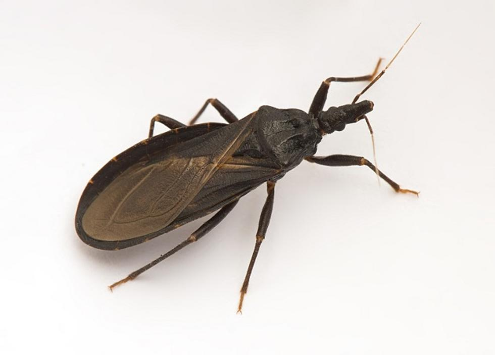 Beware of this Insect, Known as the Assassin Bug