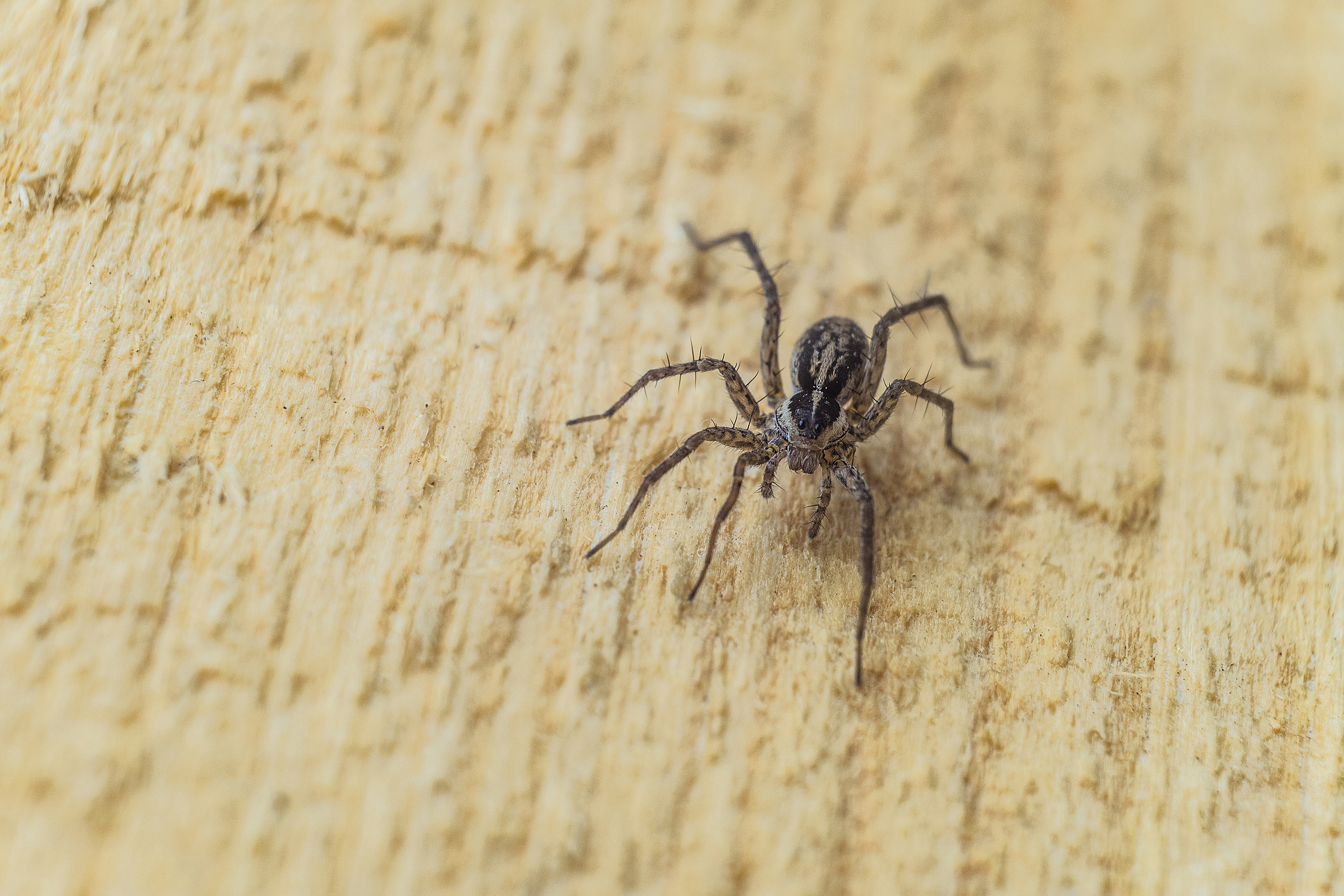 Michigan Has 2 Poisonous Spiders And One Really Scary 1