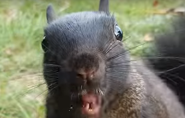 Michigan S Black Squirrels Evil Alien Or Otherwise