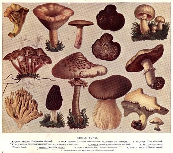 Morel Mushroom Michigan Map.Michigan Dnr Publishes Morel Mushroom Hunting Map