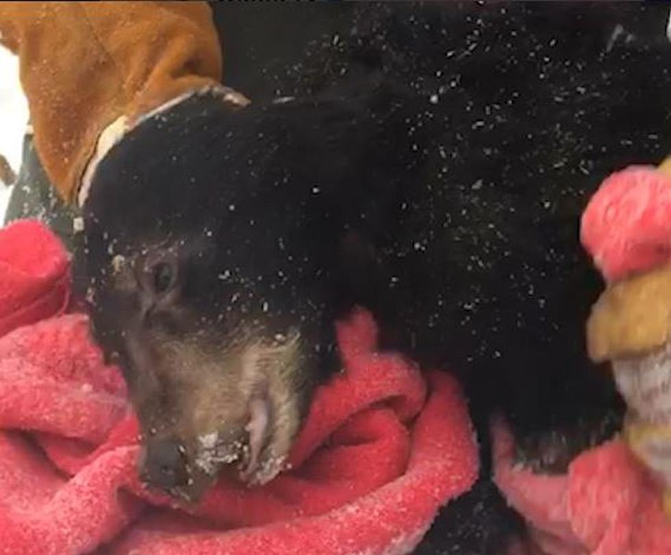 Starving Orphaned Bear Cub Is Rescued & Brought To New Hampshire