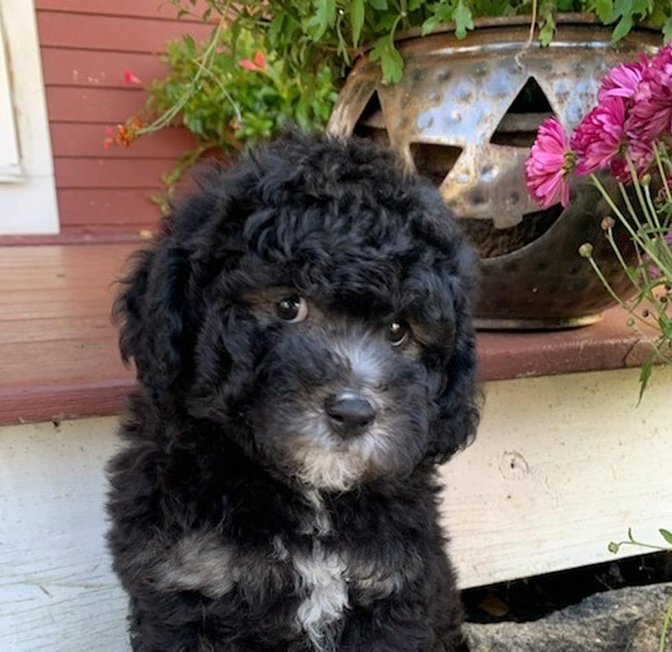 Cute Poodle Mix To Provide Tlc To First Responders In