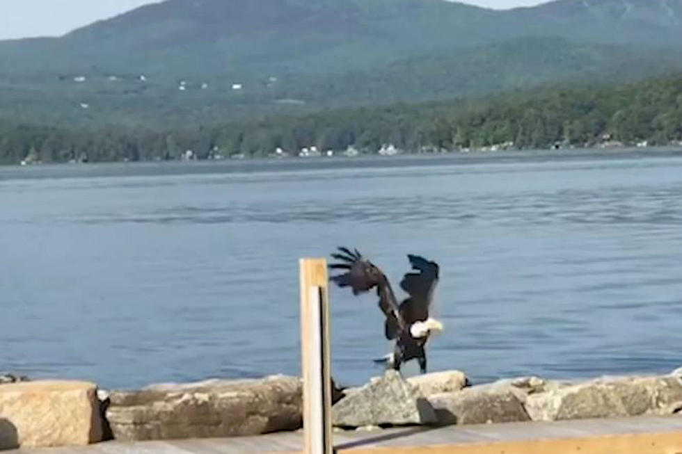Watch a Bald Eagle Swim to Shore in New Hampshire