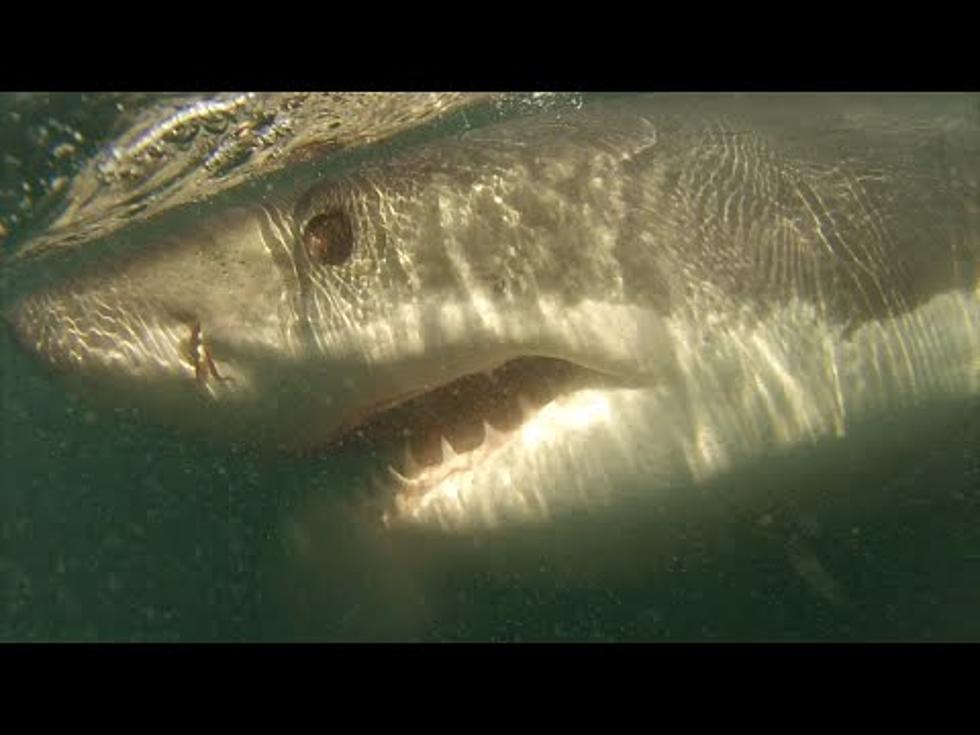 Amateur Raw Footage of a Great White Shark Curiously Circling a Boat is the  Perfect Way to End our Shark Week [VIDEO]