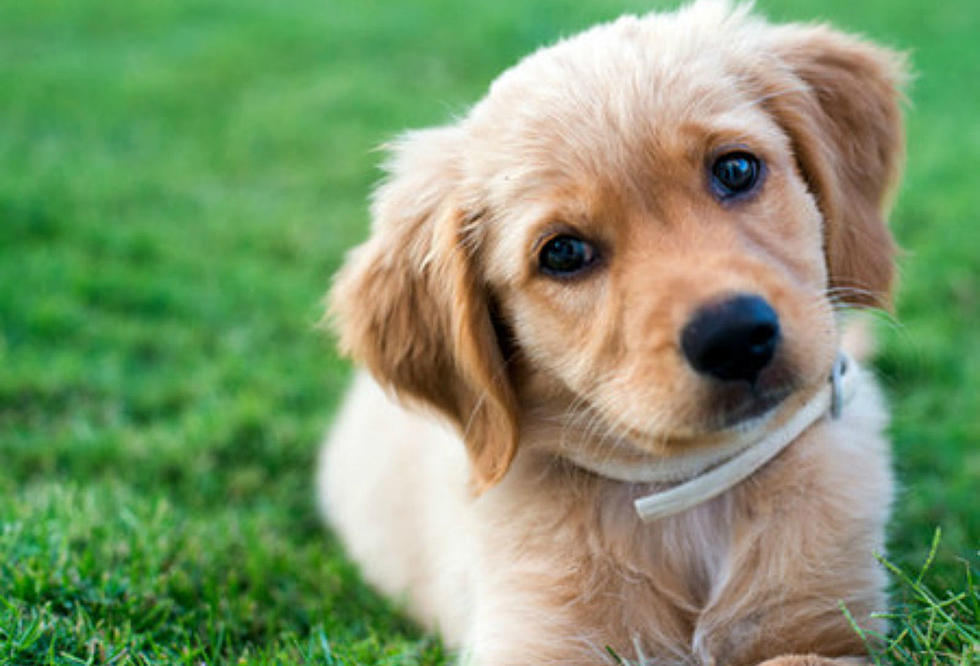 New Hampshire And Maine Puppies To Compete In Animal Planets Puppy Bowl