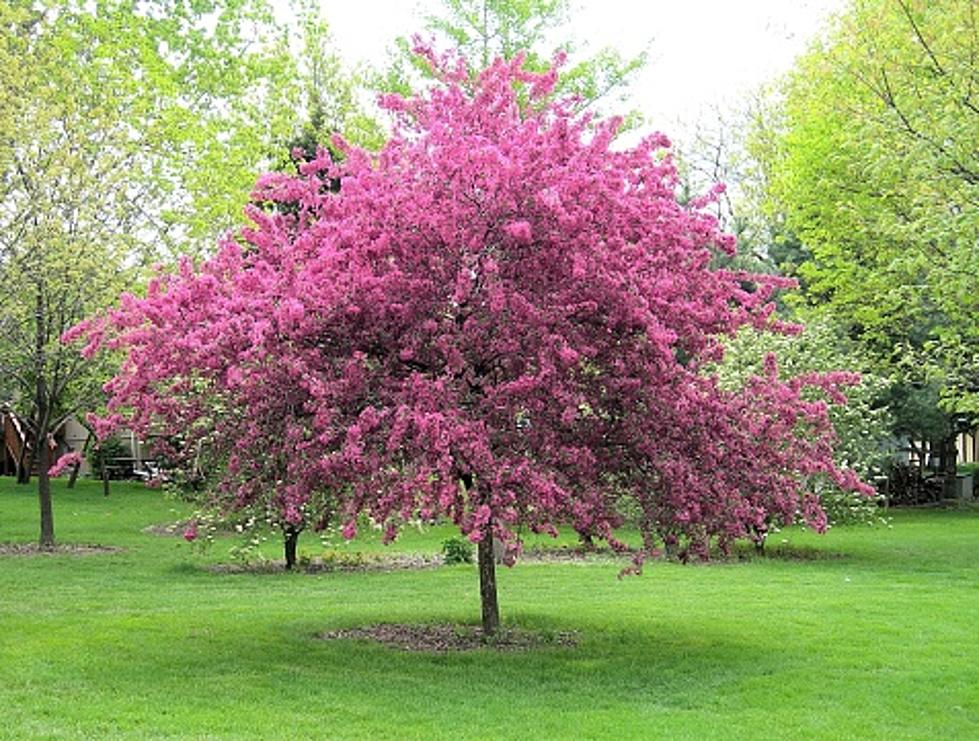 People Are Arguing In Court About A Crab Apple Tree In Candia Nh