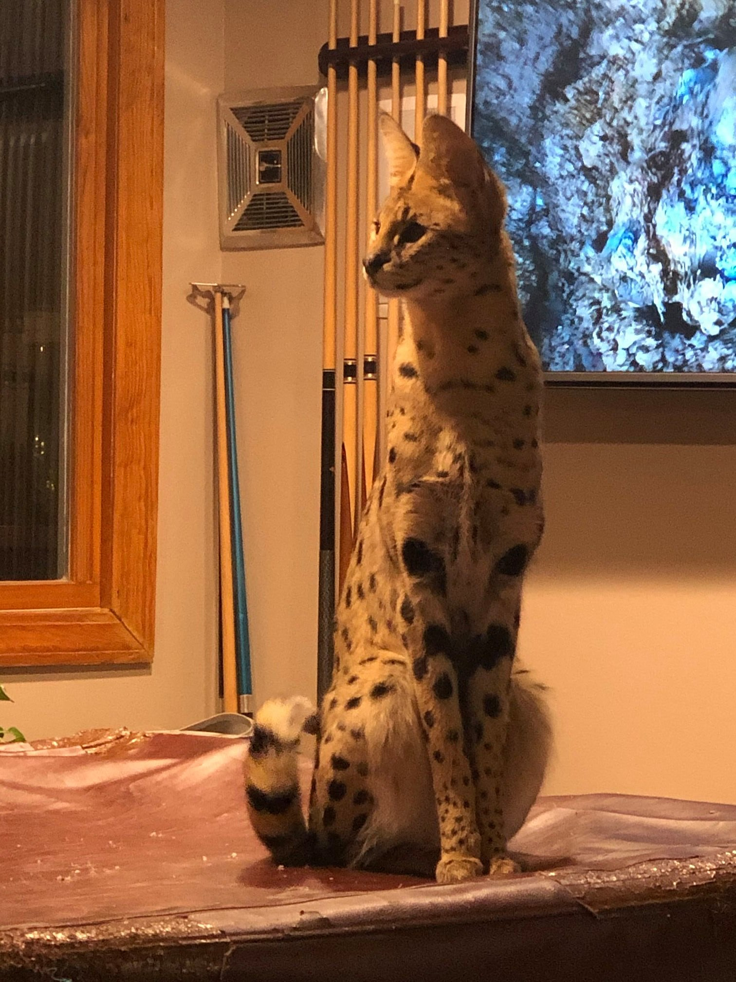 Good News: That African Serval Cat from NH Has Been Found