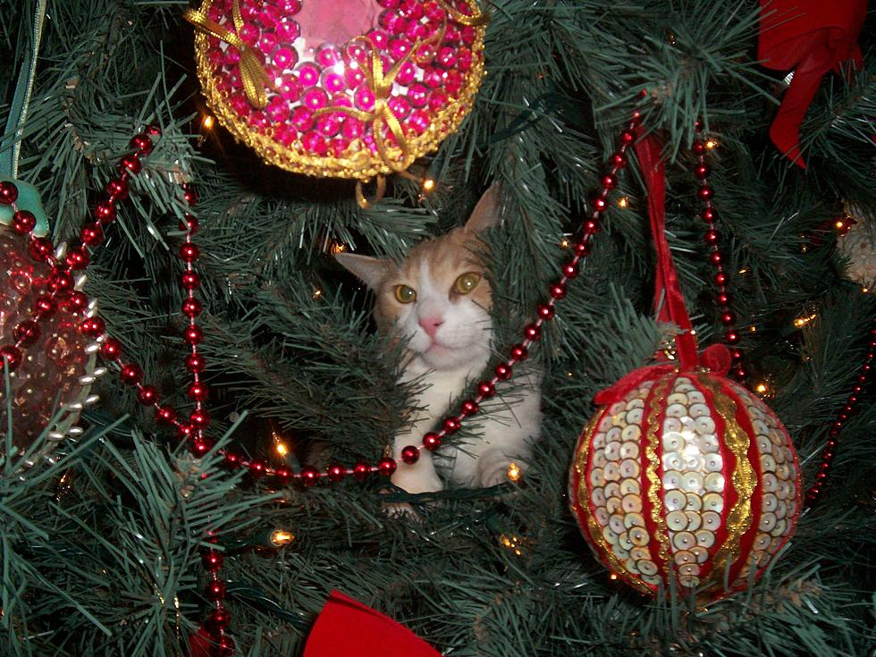 Cats Vs Christmas Trees.Cats Vs Christmas Trees A Yearly Battle