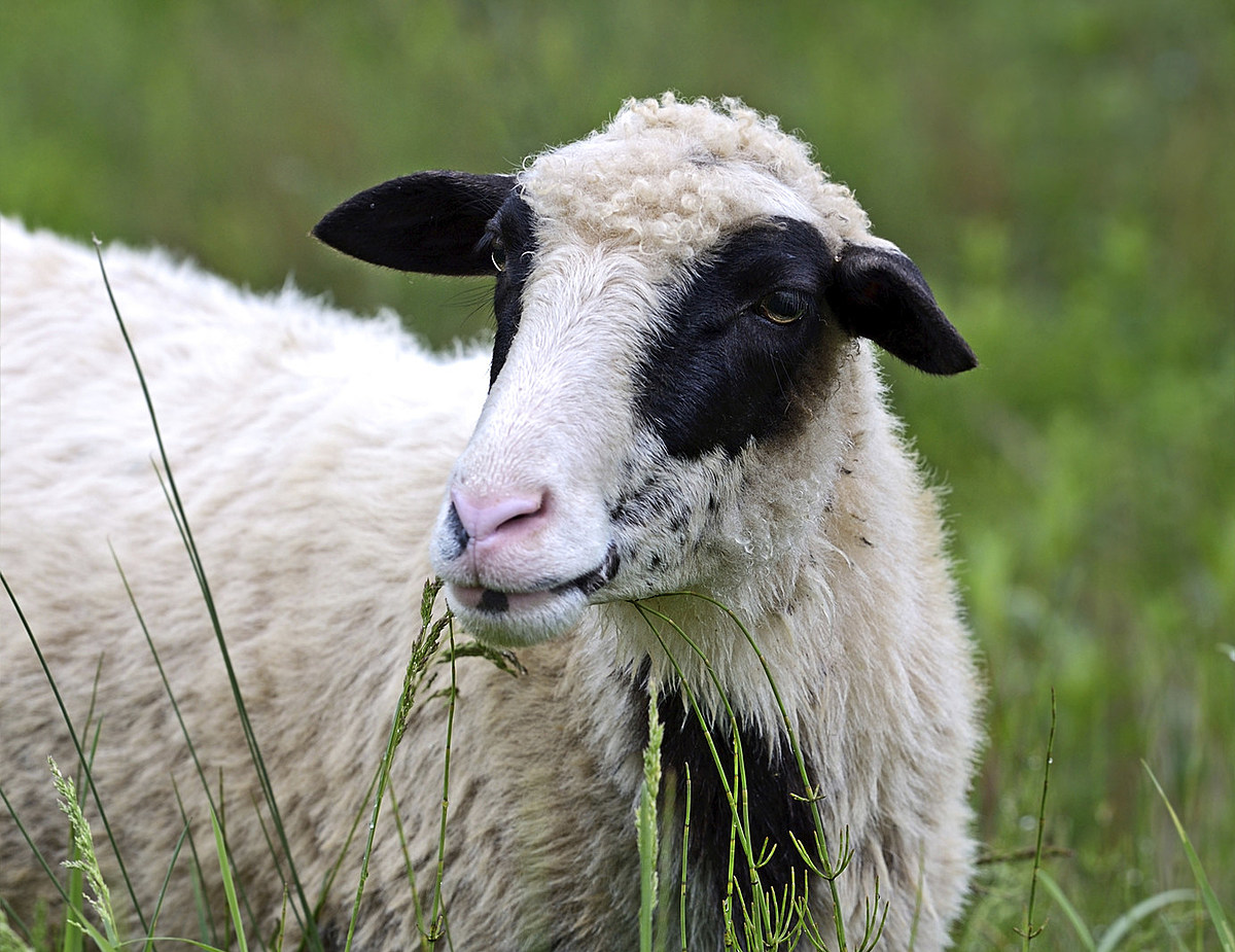 Runaway Sheep Escape Trailer and Make Way Down New York Road