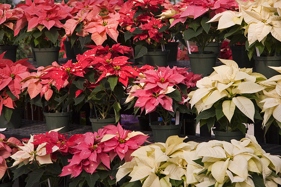Holiday Plants Mean Well But Can Be Harmful