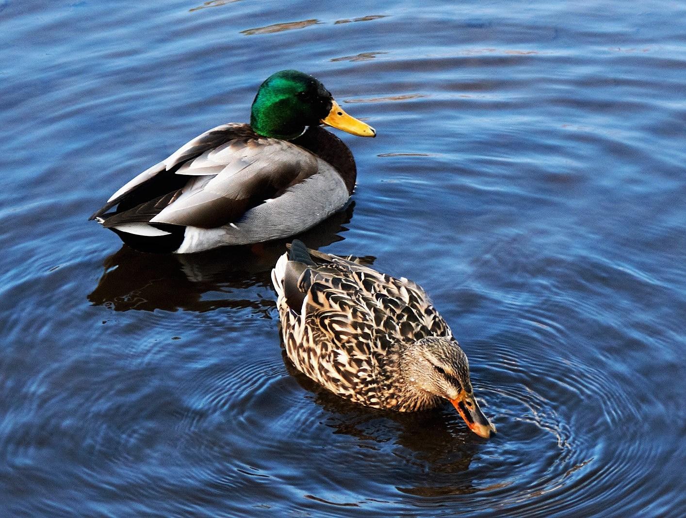 Stop Feeding the Ducks in Davenport