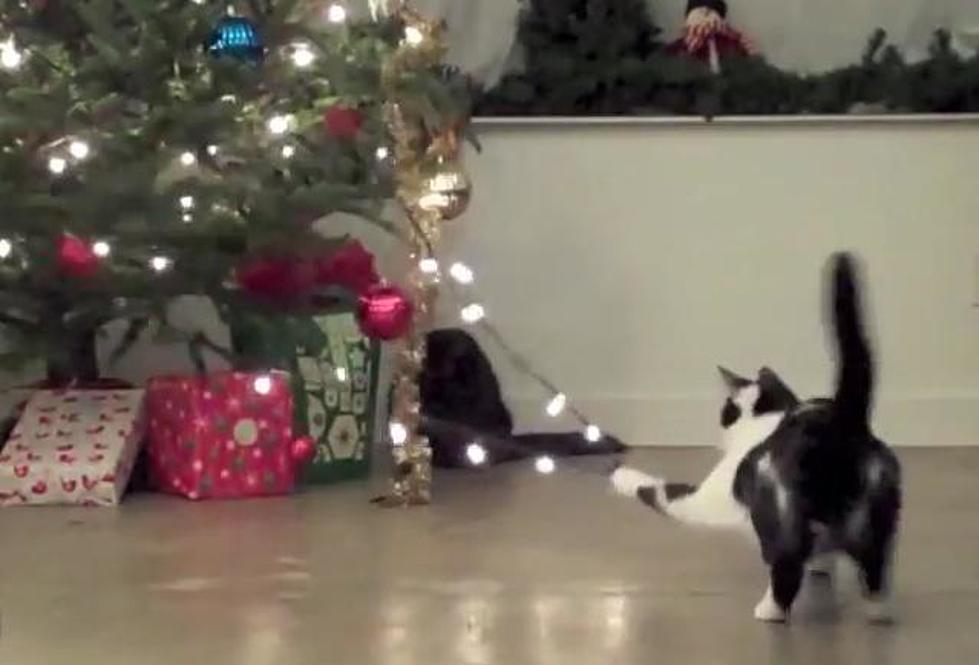 Cats Vs Christmas Trees.Video Cats Vs Christmas Trees
