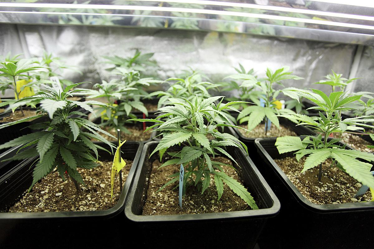 Марихуана в домашних условиях выращивание продажа марихуана