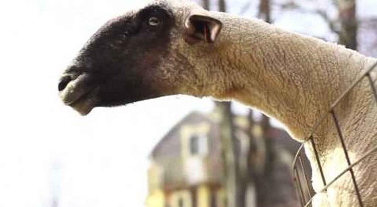 And Now A Montage Of Goats Screaming Like People
