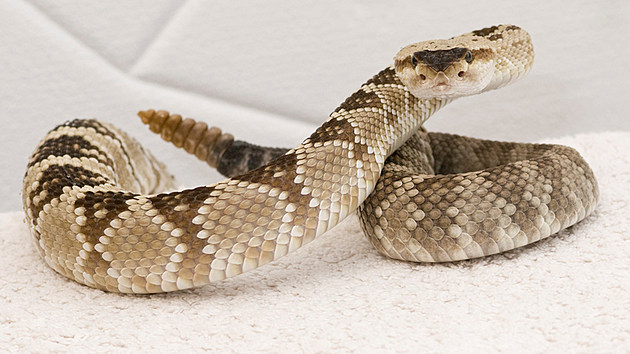 Afraid Of Snakes A Hoosier S Guide To The Poisonous Snakes Of Indiana