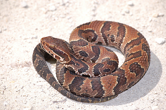 Afraid Of Snakes A Hoosiers Guide To The Poisonous Snakes Of Indiana