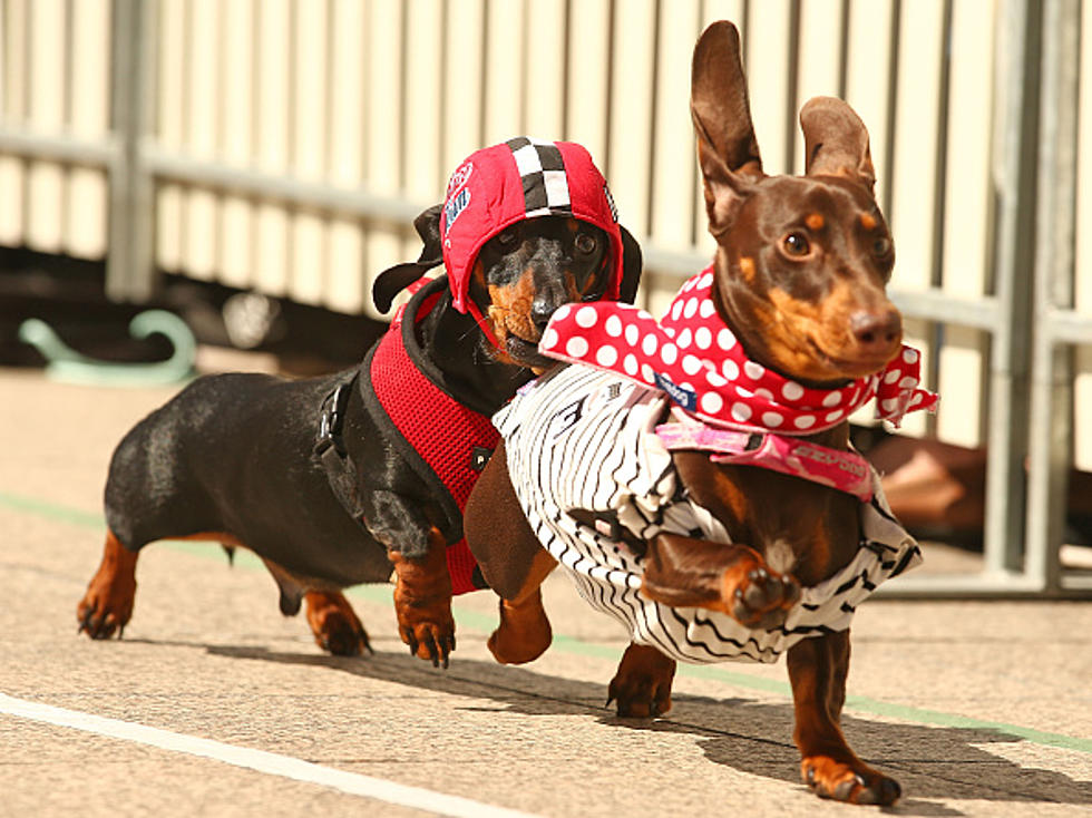 sausage dog racing betting