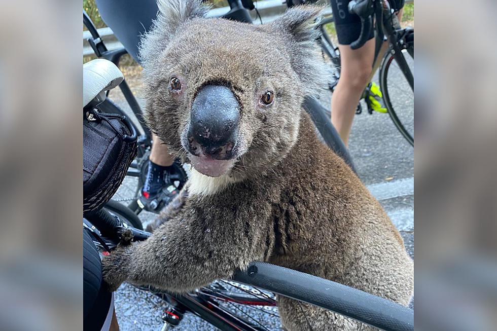 Koala Bear Drinking From A Water Bottle Is The Cutest Video Ever