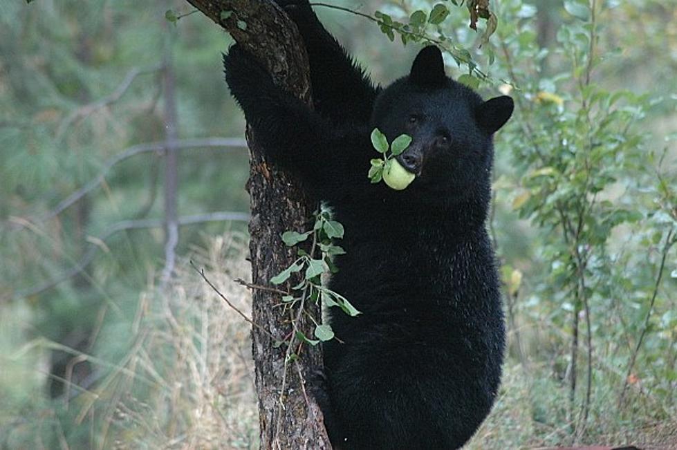 Black Bear Killed in Glacier National Park Hazing Effort