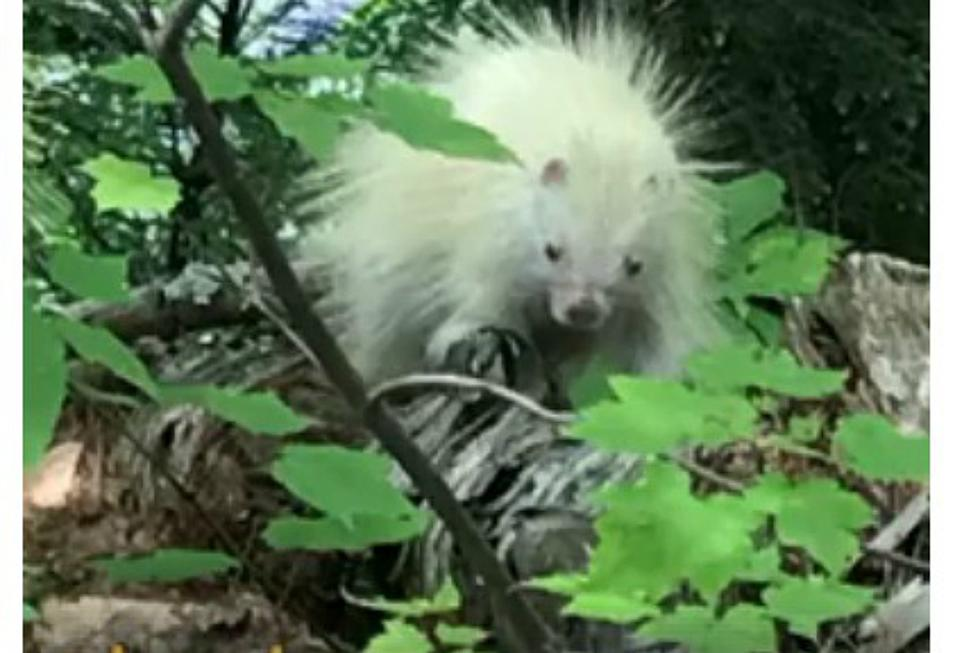 How Bizarre! An Extremely Rare Albino Porcupine Caught on