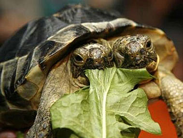 two-headed Greek turtle named Janus eats some salad leaves at the Natural History Museum in Geneva September 5, 2007. Janus, named after the Roman god with two heads, officially celebrated its 10th birthday on Wednesday. REUTERS/Denis Balibouse (SWITZERLAND)