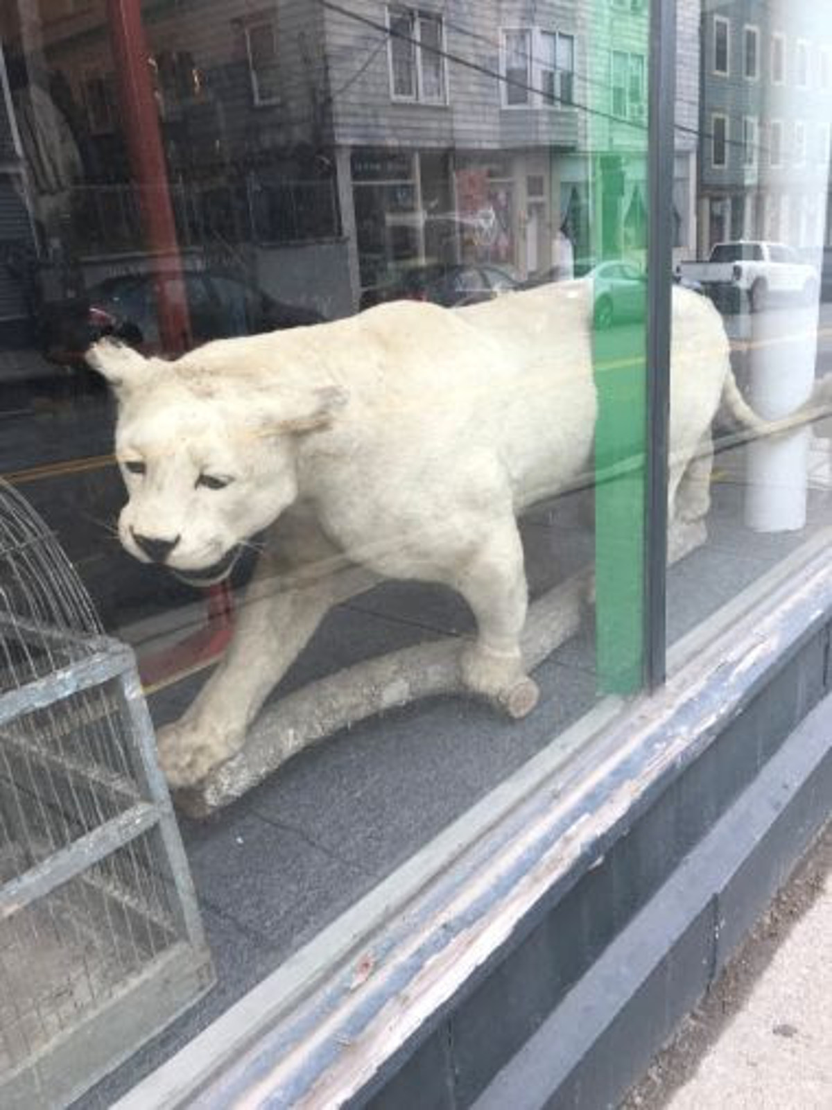 Hudson Valley Business Accused of Selling Mountain Lion ...