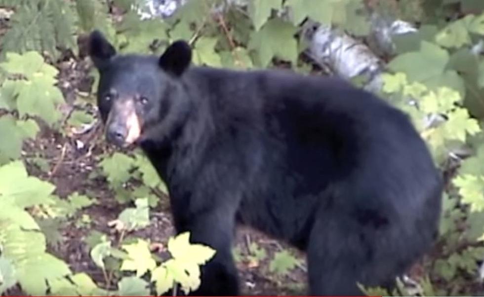 Michigan S Black Bear Population Is Surging